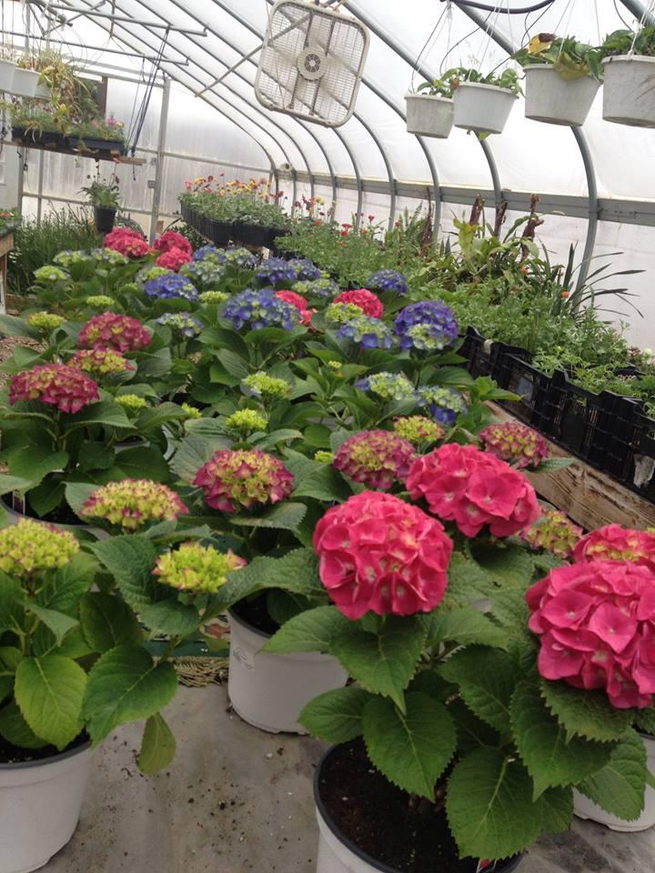 M&M Plants, spring greenhouse