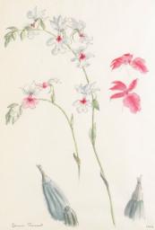 Chatsworth orchid