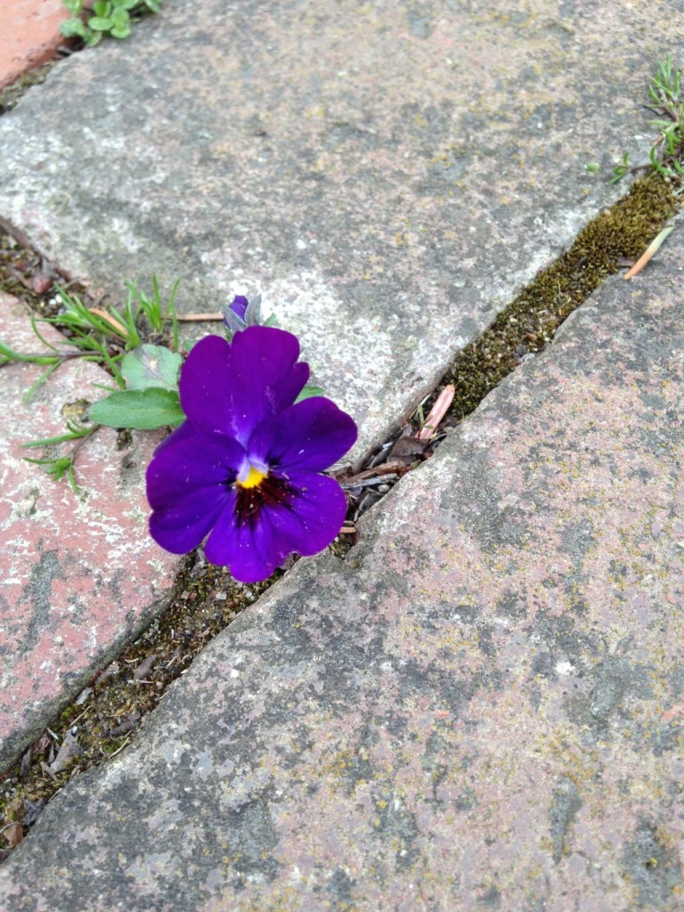 flower in our brick walk